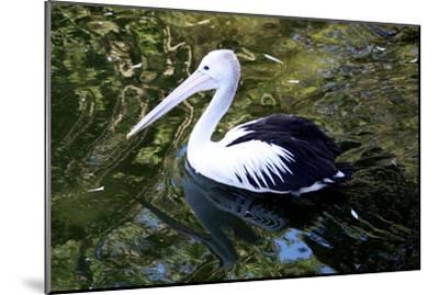 An Australian Pelican at a Zoo-Jill Schneider-Mounted Photographic Print