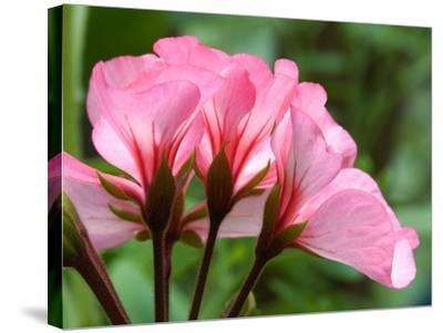 Close Up of a Pink Geranium-Vickie Lewis-Stretched Canvas Print