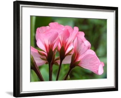 Close Up of a Pink Geranium-Vickie Lewis-Framed Photographic Print