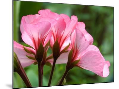 Close Up of a Pink Geranium-Vickie Lewis-Mounted Photographic Print
