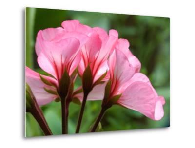 Close Up of a Pink Geranium-Vickie Lewis-Metal Print