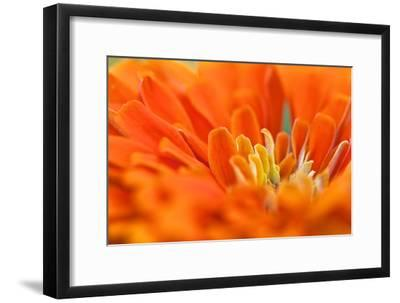 Extreme Close Up of An Orange Chrysanthemum Flower-Vickie Lewis-Framed Photographic Print