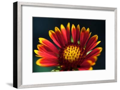 Close Up of a Mexican Sunflower-Vickie Lewis-Framed Photographic Print