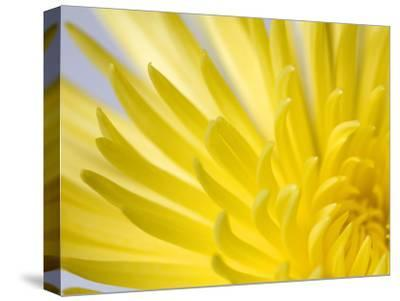 Close Up of the Petals of a Yellow Chrysanthemum Flower-Vickie Lewis-Stretched Canvas Print