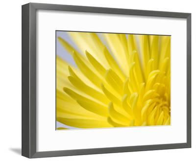 Close Up of the Petals of a Yellow Chrysanthemum Flower-Vickie Lewis-Framed Photographic Print