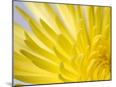 Close Up of the Petals of a Yellow Chrysanthemum Flower-Vickie Lewis-Mounted Photographic Print