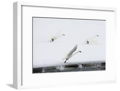 Trumpeter Swans Take Flight-Tom Murphy-Framed Photographic Print