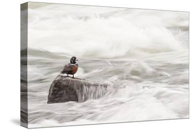 A Harlequin Duck on a Rock in the LeHardy Rapids-Tom Murphy-Stretched Canvas Print