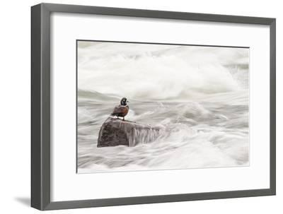 A Harlequin Duck on a Rock in the LeHardy Rapids-Tom Murphy-Framed Photographic Print