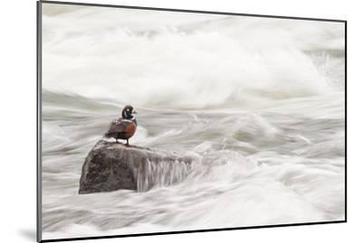A Harlequin Duck on a Rock in the LeHardy Rapids-Tom Murphy-Mounted Photographic Print