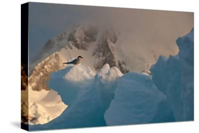 An Antarctic Tern Perched in the Sun on An Iceberg-Tom Murphy-Stretched Canvas Print