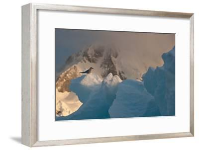 An Antarctic Tern Perched in the Sun on An Iceberg-Tom Murphy-Framed Photographic Print
