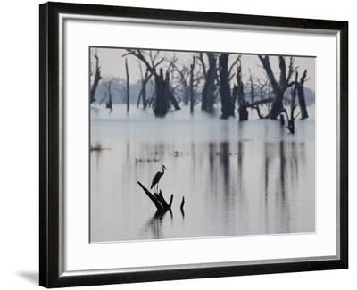 A Gray Heron, Ardea Cinerea, Rests on a Dead Tree in a Lake-Alex Saberi-Framed Photographic Print