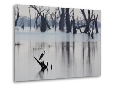 A Gray Heron, Ardea Cinerea, Rests on a Dead Tree in a Lake-Alex Saberi-Metal Print