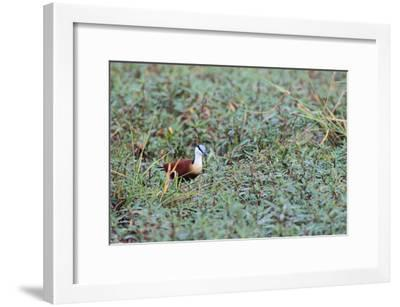 A Male African Jacana, Actophilornis Africana, Hunting in Vegetation-Joe Petersburger-Framed Photographic Print