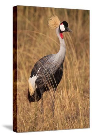 Portrait of a Grey Crowned Crane, Balearica Regulorum Gibbericeps-Joe Petersburger-Stretched Canvas Print