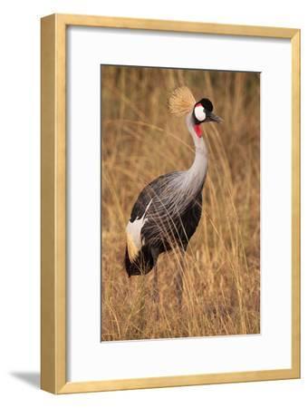 Portrait of a Grey Crowned Crane, Balearica Regulorum Gibbericeps-Joe Petersburger-Framed Photographic Print