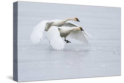 A Pair of Trumpeter Swans Taking Off on a Frozen Creek-Greg Winston-Stretched Canvas Print