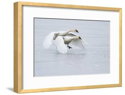 A Pair of Trumpeter Swans Taking Off on a Frozen Creek-Greg Winston-Framed Photographic Print