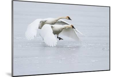 A Pair of Trumpeter Swans Taking Off on a Frozen Creek-Greg Winston-Mounted Photographic Print