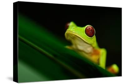 A Red-eyed Tree Frog (Agalychnis Callidryas) Perches on a Leaf-Kike Calvo-Stretched Canvas Print