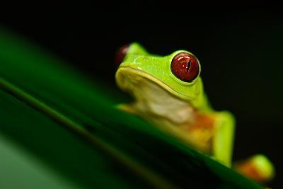 A Red-eyed Tree Frog (Agalychnis Callidryas) Perches on a Leaf-Kike Calvo-Photographic Print