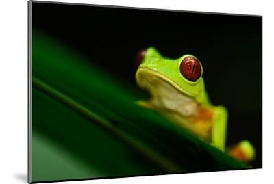 A Red-eyed Tree Frog (Agalychnis Callidryas) Perches on a Leaf-Kike Calvo-Mounted Photographic Print
