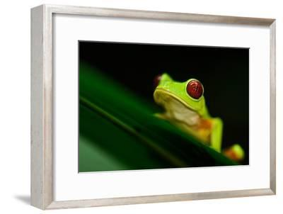 A Red-eyed Tree Frog (Agalychnis Callidryas) Perches on a Leaf-Kike Calvo-Framed Photographic Print