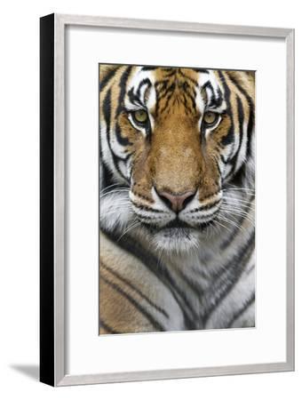 Portrait of a Male Bengal Tiger, Panthera Tigris Tigris-Karine Aigner-Framed Photographic Print