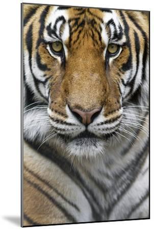Portrait of a Male Bengal Tiger, Panthera Tigris Tigris-Karine Aigner-Mounted Photographic Print