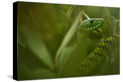 The Hollow Fangs of the Jameson's Mamba-Mattias Klum-Stretched Canvas Print