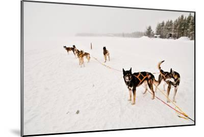 Siberian Husky Sled Dogs Wearing Sled Harnesses Wait to Pull a Sled Over a Frozen Lake-Lola Akinmade Akerstrom-Mounted Photographic Print