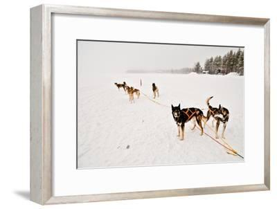 Siberian Husky Sled Dogs Wearing Sled Harnesses Wait to Pull a Sled Over a Frozen Lake-Lola Akinmade Akerstrom-Framed Photographic Print