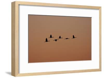 A Flock of Sandhill Cranes, Grus Canadensis, in Flight-Marc Moritsch-Framed Photographic Print