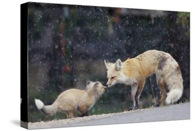 A Mother Red Fox, Vulpes Vulpes, and Kit Nuzzle Each Other-Barrett Hedges-Stretched Canvas Print