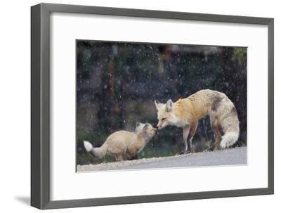 A Mother Red Fox, Vulpes Vulpes, and Kit Nuzzle Each Other-Barrett Hedges-Framed Photographic Print