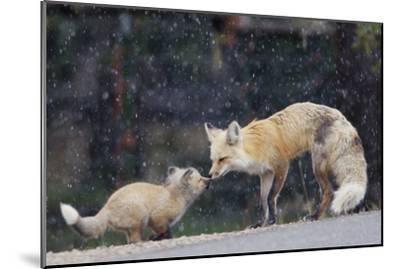 A Mother Red Fox, Vulpes Vulpes, and Kit Nuzzle Each Other-Barrett Hedges-Mounted Photographic Print