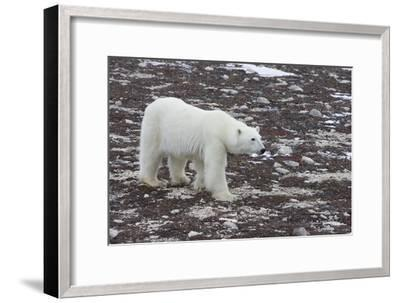 A Young Male Polar Bear Walks on Snow Spotted Arctic Tundra-Matthias Breiter-Framed Photographic Print
