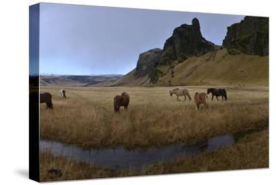 Icelandic Horses in a Pasture-Raul Touzon-Stretched Canvas Print
