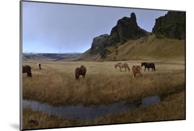 Icelandic Horses in a Pasture-Raul Touzon-Mounted Photographic Print