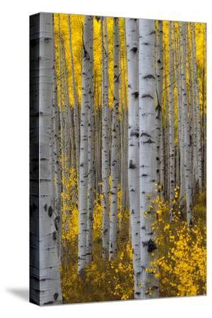 A Forest of Aspen Trees with Golden Yellow Leaves in Autumn-Robbie George-Stretched Canvas Print