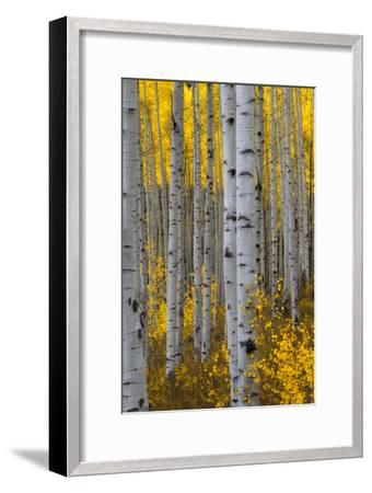 A Forest of Aspen Trees with Golden Yellow Leaves in Autumn-Robbie George-Framed Premium Photographic Print