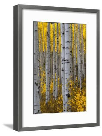 A Forest of Aspen Trees with Golden Yellow Leaves in Autumn-Robbie George-Framed Photographic Print