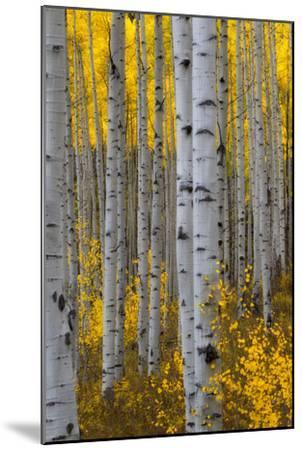 A Forest of Aspen Trees with Golden Yellow Leaves in Autumn-Robbie George-Mounted Photographic Print