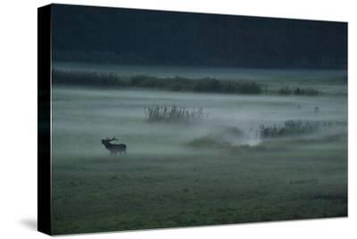 A Red Deer Bellows on a Foggy Evening During Rutting Season-Norbert Rosing-Stretched Canvas Print
