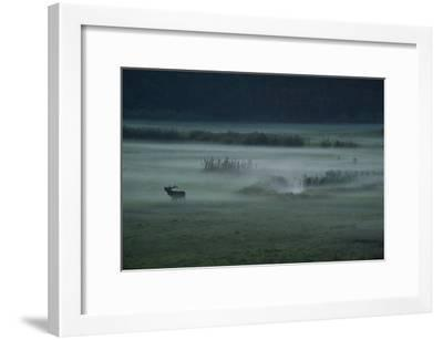 A Red Deer Bellows on a Foggy Evening During Rutting Season-Norbert Rosing-Framed Photographic Print