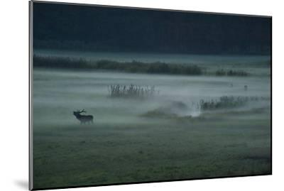 A Red Deer Bellows on a Foggy Evening During Rutting Season-Norbert Rosing-Mounted Photographic Print