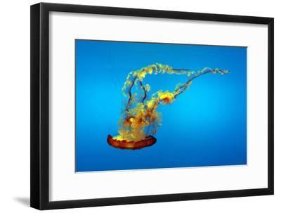 Portrait of a Colorful Jellyfish, Swimming-Sean Gallagher-Framed Photographic Print