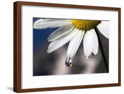 A Sparkle in a Drop of Water on a Daisy Petal-Robbie George-Framed Photographic Print