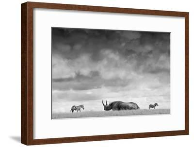 A White Rhino Lies in the Grass As Two Zebras Graze Behind-Robin Moore-Framed Photographic Print